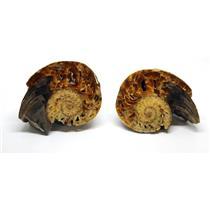 Eutrephoceras Nautilus Fossil Late Cretaceous Montana 9o #16268