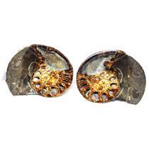 Ammonite Hoploscaphites Split Polished Fossil Montana 100 MYO w/label #16287 20o