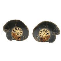 Ammonite Hoploscaphites Split Polished Fossil Montana 100 MYO w/label #16288 21o