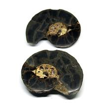 Ammonite Hoploscaphites Split Polished Fossil Montana 100 MYO w/label #16291 23o