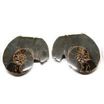 Ammonite Hoploscaphites Split Polished Fossil Montana 100 MYO w/label #16294 30o