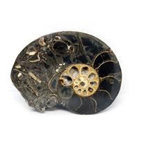 Ammonite Hoploscaphites Split Polished Fossil Montana 100 MYO w/label #16296 15o