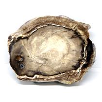 Petrified Wood from Washington USA Fossil #16398 31o