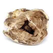 Petrified Wood from Washington USA Fossil #16401 21o
