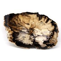 Petrified Wood from Washington USA Fossil #16406 30o