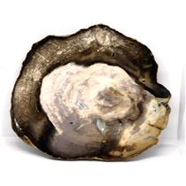 Petrified Wood from Washington USA Fossil #16407 27o