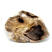 Petrified Wood from Washington USA Fossil #16408 29o