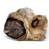 Petrified Wood from Washington USA Fossil #16410 26o