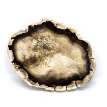 Petrified Wood from Washington USA Fossil #16411 19o