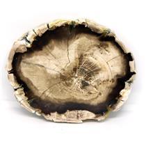 Petrified Wood from Washington USA Fossil #16412 20o