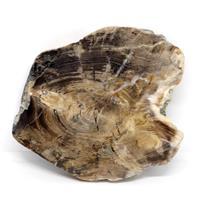 Petrified Wood from Washington USA Fossil #16416 17o