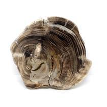 Petrified Wood from Washington USA Fossil #16418 8o