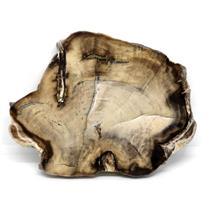 Petrified Wood from Washington USA Fossil #16419 21o