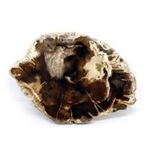 Petrified Wood from Washington USA Fossil #16421 16o