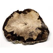 Petrified Wood from Washington USA Fossil #16423 20o