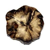 Petrified Wood from Washington USA Fossil #16429 13o