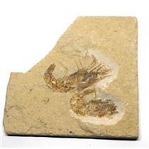 Carpopenaeus Shrimp (Two) Dinosaur Fossil 7o #16440