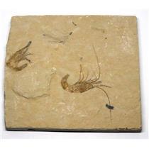 Carpopenaeus Shrimp (Two) Dinosaur Fossil 15o #16441
