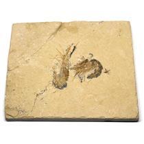 Carpopenaeus Shrimp (Two) Dinosaur Fossil 17o #16442
