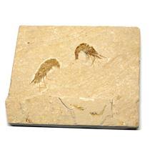 Carpopenaeus Shrimp (Two) Dinosaur Fossil 14o #16443