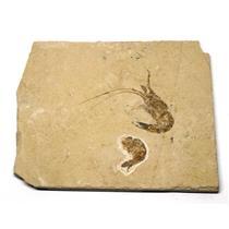 Carpopenaeus Shrimp (Two) Dinosaur Fossil 11o #16444