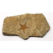 Starfish Fossil Ordovician 450 Million Years Ago Morocco #16466 11o