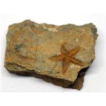 Starfish Fossil Ordovician 450 Million Years Ago Morocco #16467 7o