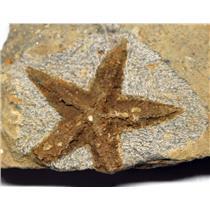 Starfish Fossil Ordovician 450 Million Years Ago Morocco #16488 18o