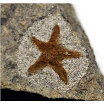 Starfish Fossil Ordovician 450 Million Years Ago Morocco #16492 8o
