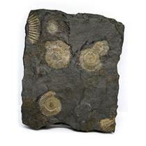Dactylioceras Ammonite Fossil 180 MYO Germany #16494 23o