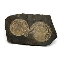 Dactylioceras Ammonite Fossil 180 MYO Germany #16495 14o