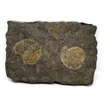 Dactylioceras Ammonite Fossil 180 MYO Germany #16496 16o
