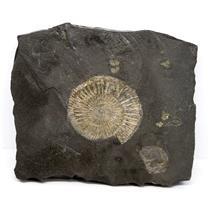 Dactylioceras Ammonite Fossil 180 MYO Germany #16497 21o
