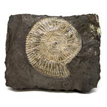 Dactylioceras Ammonite Fossil 180 MYO Germany #16499 20o