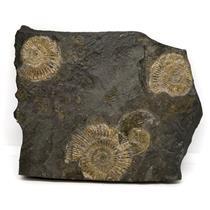 Dactylioceras Ammonite Fossil 180 MYO Germany #16501 16o
