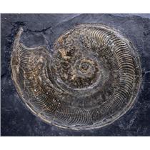 Harpoceras Ammonite Fossil 180 MYO Germany #16502 93o