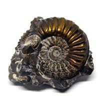 Ammonite Fossil Pleuroceras (Pyritized) Jurassic 185 MYO #16515 5o