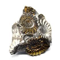 Ammonite Fossil Pleuroceras (Pyritized) Jurassic 185 MYO #16519 9o