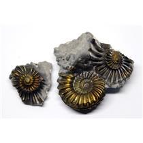 Ammonite Fossil Pleuroceras (Pyritized) Jurassic 185 MYO #16523 7o