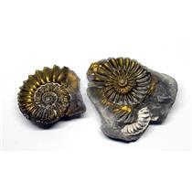 Ammonite Fossil Pleuroceras (Pyritized) Jurassic 185 MYO #16525 9o