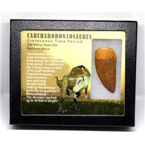 CARCHARODONTOSAURUS Dinosaur Tooth 2.349 Fossil African T-Rex w/COA LDB 18o