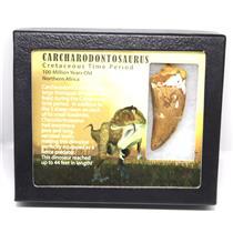 CARCHARODONTOSAURUS Dinosaur Tooth 2.709 Fossil African T-Rex w/COA LDB 18o