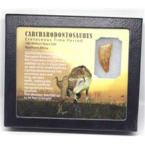 CARCHARODONTOSAURUS Dinosaur Tooth 1.317 Fossil African T-Rex w/COA LDB 11o