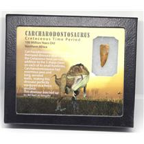 CARCHARODONTOSAURUS Dinosaur Tooth 1.150 Fossil African T-Rex w/COA LDB 11o