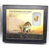 CARCHARODONTOSAURUS Dinosaur Tooth .805 Fossil African T-Rex w/COA LDB 11o