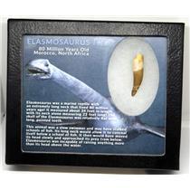 Elasmosaur Dinosaur Tooth 1.527 inches MDB w/COA 80 MYO #16674 10o