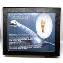 Elasmosaur Dinosaur Tooth 1.433 inches MDB w/COA 80 MYO #16679 10o