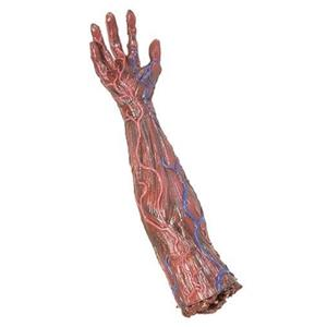 Skinned Alive Right Arm and Hand Horror Prop Gory Body Part
