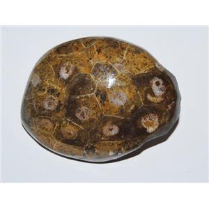 Hexagonaria Coral (Small) Beautifully Polished Morocco 350 Million YO #13410 10o