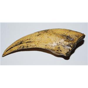 VELOCIRAPTOR Claw Replica (Cast) #2 - Not Real Fossil - #10113 4o